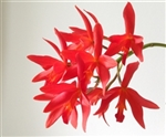 Cattlianthe Rojo