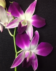 Dendrobium Hybrid, Candy Cane Pink