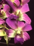 Dendrobium Hybrid, Purple Blush