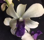 Dendrobium Hybrid, White w/Dark Purple Lip