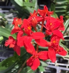 Epidendrum Red (Red Lip)
