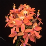 Epidendrum Reed Stem Hybrid, Coral Orange