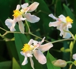 Oncidium Gold Dust