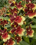Oncidium Gold Fire