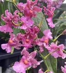 Oncidium Ruffles 'Scent of a Woman'