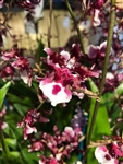 Oncidium Heaven Scent 'Sweet Baby'
