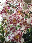 Odontocidium King Diamond 'Flushed'