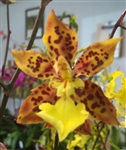 Odontocidium Sunlight 'Pesky Panther'