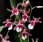 Oncidium Red Wasp