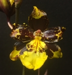 Odontocidium Saint Anthony of Egypt 'Fragrant Beauty'