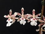 Oncidium Speckled Spire 'Snow Flake'