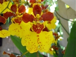 Oncidium Sweet Ears