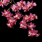 Oncidium Twinkles red