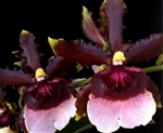 Oncidium Witches Jewel 'Short 'n Sweet'