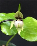 Cypripedium debile