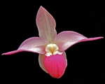 Phragmipedium Cape Sunset
