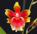 Oncidium Pacific Waters
