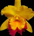 Blc. Shingfong Gold Gem 'Golden Jewel'