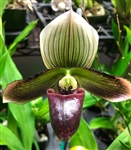 Paphiopedilum Death Poem x Magical Contrasts