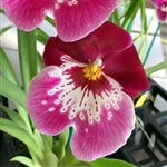 Miltoniopsis Lila Fearneyhough