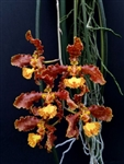 Oncidium stacyi
