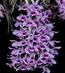 Dendrobium Little Sweet Scent