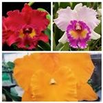 "Blc. Tainan City, Blc. Golf Gold & Blc. Doctor Joe Walker, all 5"" Pots"