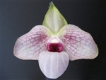 Paphiopedilum Lynleigh in Pink (Ho Chi Minh x malipoense 'Big')