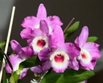 Dendrobium Country Girl