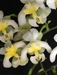 Oncidium Chiou Pin