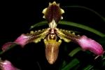 Paphiopedilum esquirolei species