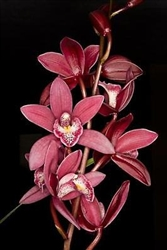 Cymbidium Peter Fire 'Torch'