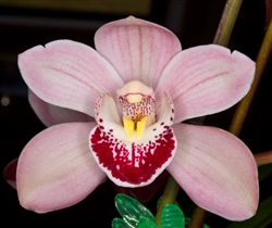 Cymbidium Street of Gold