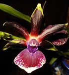 Zygopetalum Big Red One