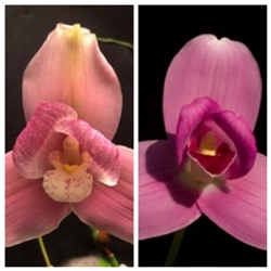 Lycaste Abou First Spring 'Will' & Nagai International
