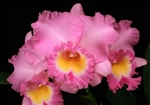 Blc. Exotic's Perfection 'Blushed' AM/AOS