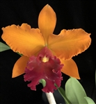 Blc. Gorgeous Gold 'Pokai' x Blc. Williette Wong 'The Best'