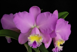 Cattleya Maui Dazzler 'Mother's Day'