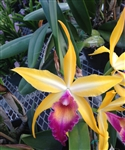 Blc. Wow 'Exotic Accent'