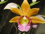 Phaius Dan Rosenberg 'Tropical Ice'