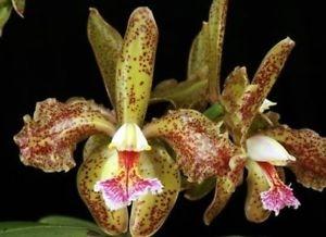 Cattleya Schofieldiana Exotic Orchids Amaos