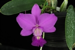 C. walkeriana 'Estrela da Colina' x C. walkeriana 'Gold Country II'
