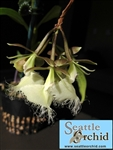 Epidendrum ilense orchid species