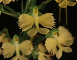 Habenaria Jiaho Yellow Bird 'Sunshine' AM/AOS