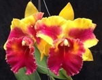 Blc. Siam Fancy 'Wings of Fire'
