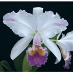 Cattleya trianae 'Splash' x coerulea