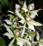 Encyclia fragrans