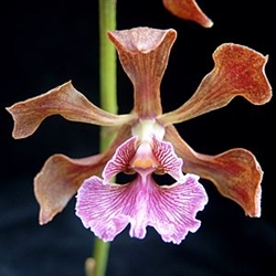 Encyclia hanburyi