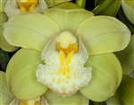 Cymbidium Ice Green Doll 'Mana'