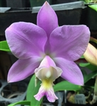 Cattleya Jungle Nobility (nobilior x harrisoniana)